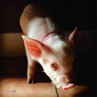 Esther the Wonder Pig – Megan Rix / Ruth Symes